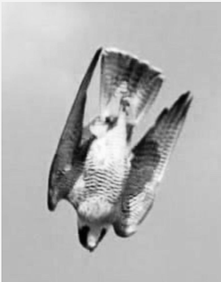 Пикирующий Сокол стал символом Рюриковичей Русов-Скифов-Саков / Кас-Саков / Казаков, потому что он символизировал контроль над огромной территорией, которую наши предки должны были охватывать одним умственным взором -- так сказать, с высоты птичьего полёта. Причём, полёта Сокола, который настигает свою жертву быстрее и беспощаднее любого наземного охотника. Сокол олицетворял ясновидение и умение побеждать разумом, а не только металлом.